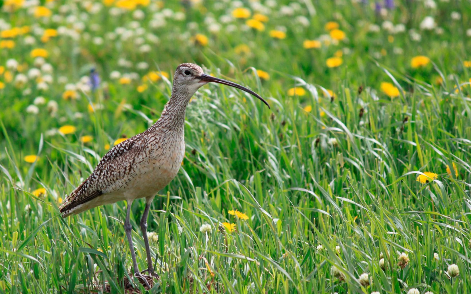 A mottled brown bird with a very long, curved beak stands in a field of wildflowers.