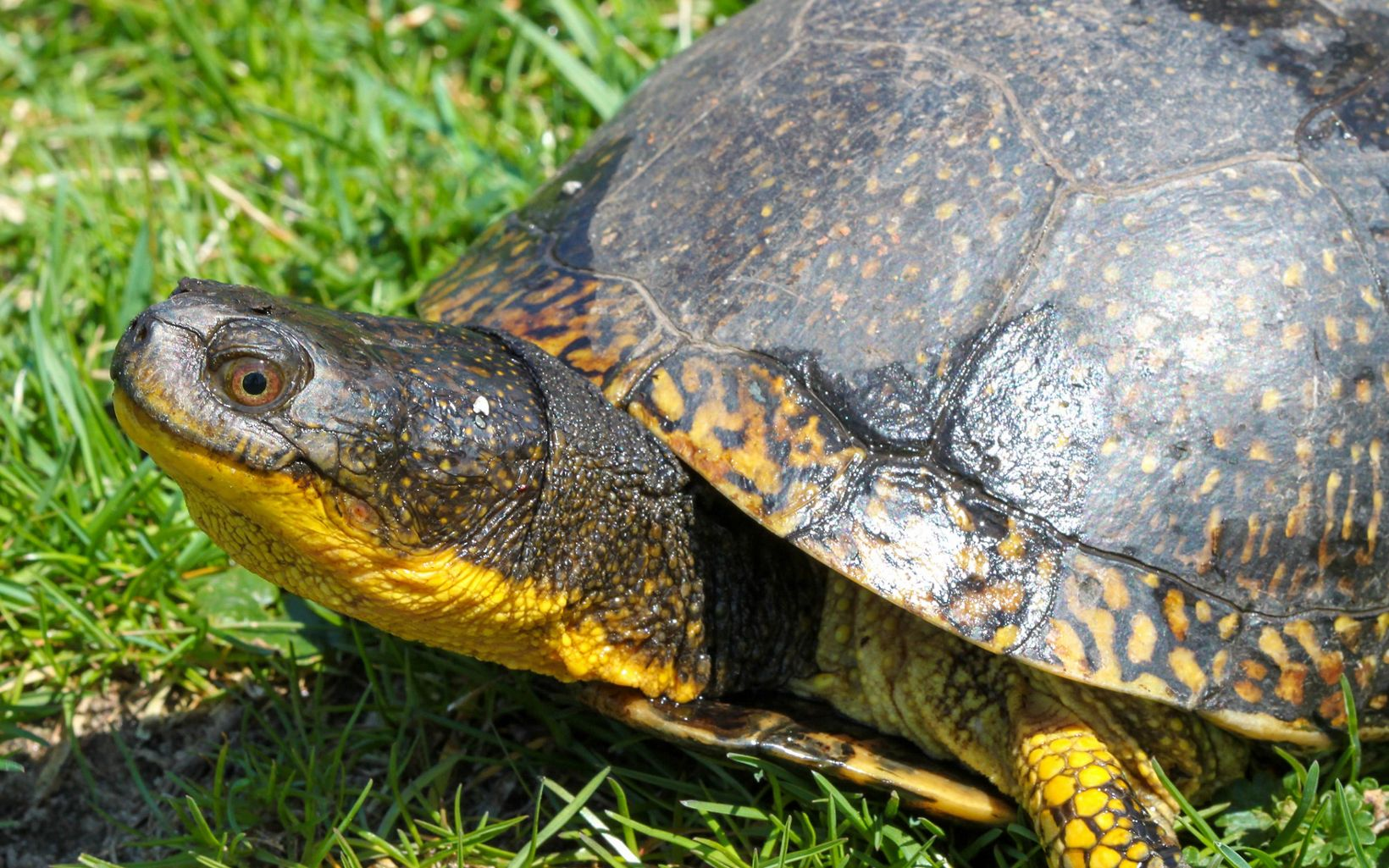 A turtle's head with a bright yellow neck and the front part of it's shell takes up the frame of the photo.