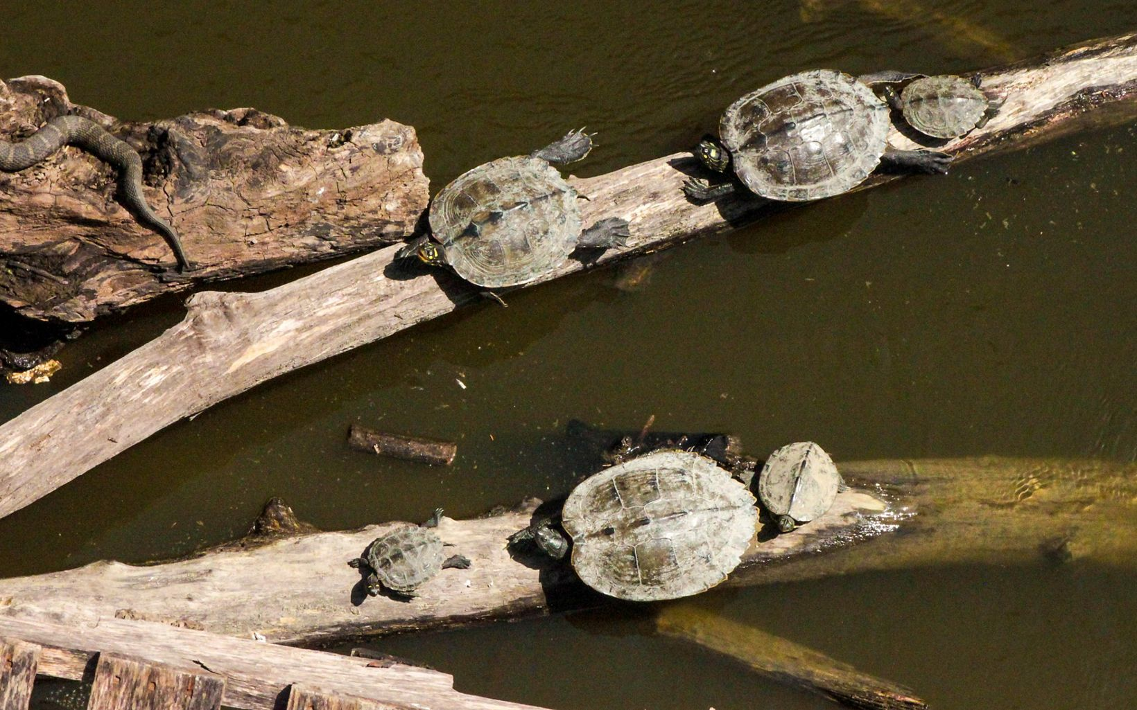 Turtles in The Land of the Swamp White Oak basking in the sun on a log