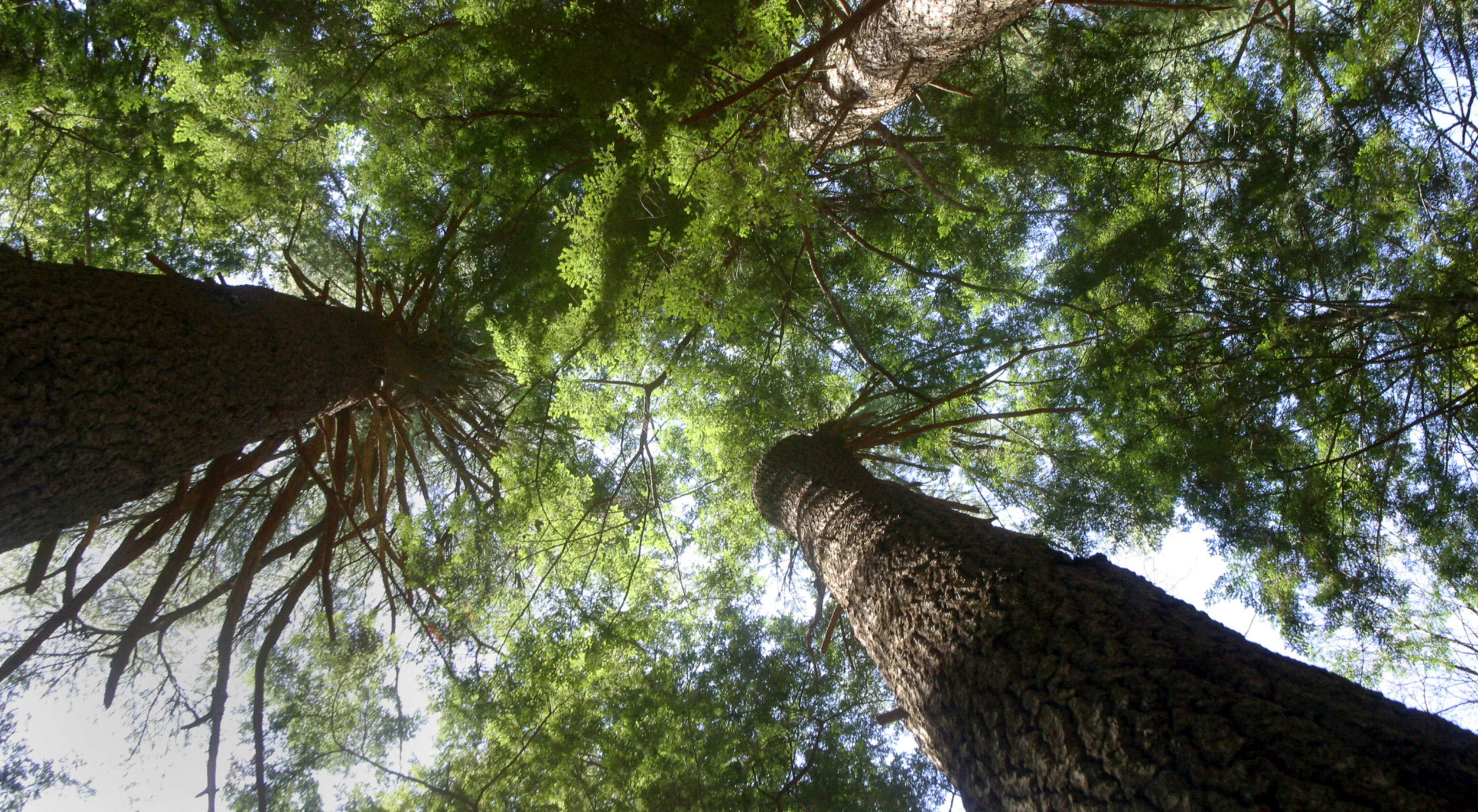 Looking upward into tall white pines.
