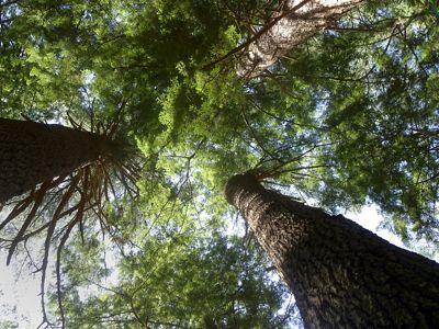 Looking up at tall trees.