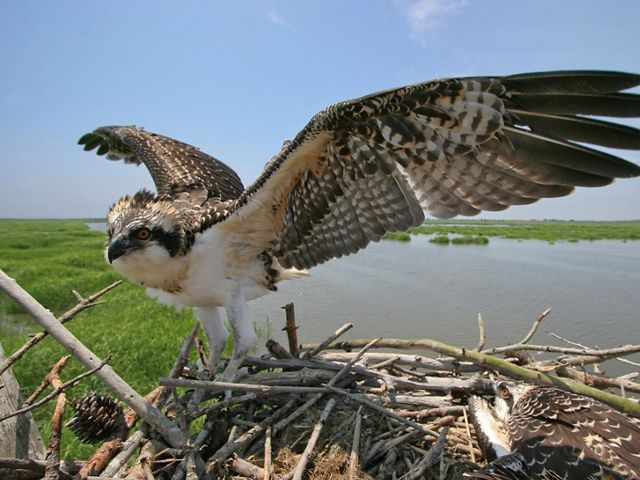 An osprey sits on its nest with its wings spread. Wetlands are in the background.