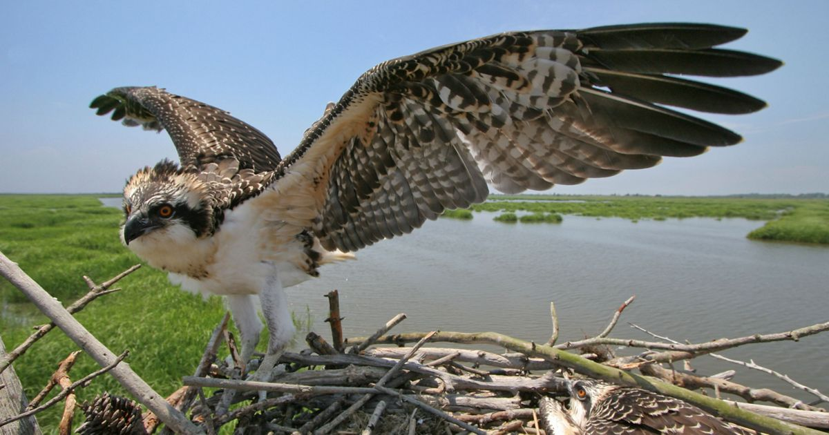 An osprey on nest in New Jersey.