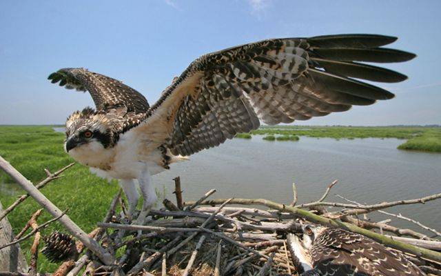 An osprey with brown and black wings and head and a white underside stands on a nest with its wings outstretched with marshlands in the background.