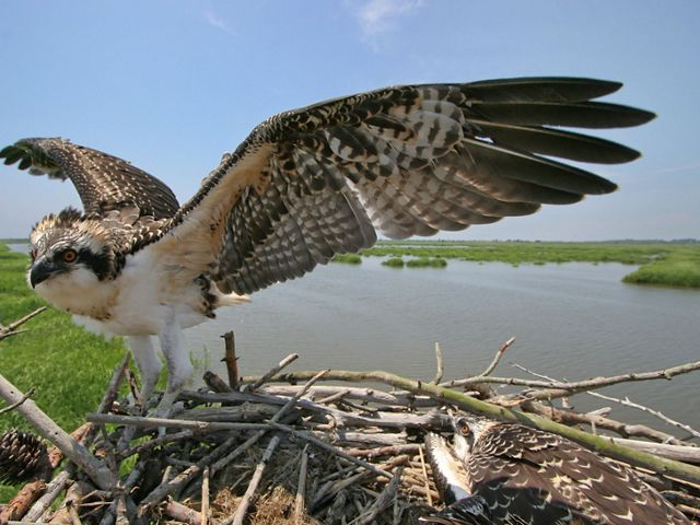 Osprey adult on a nest with outstretched wings.