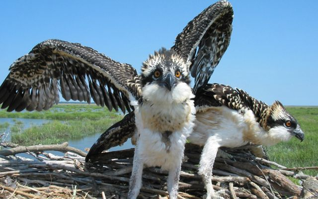 Osprey fledgelings stretch their wings in the nest.