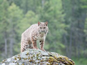 Endangered bobcat in New Jersey.