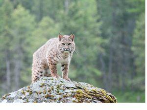 Endangered bobcat in New Jersey.