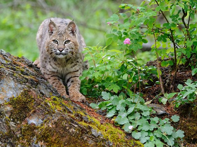 Bobcats are just one example of wide-ranging mammals in New Hampshire.
