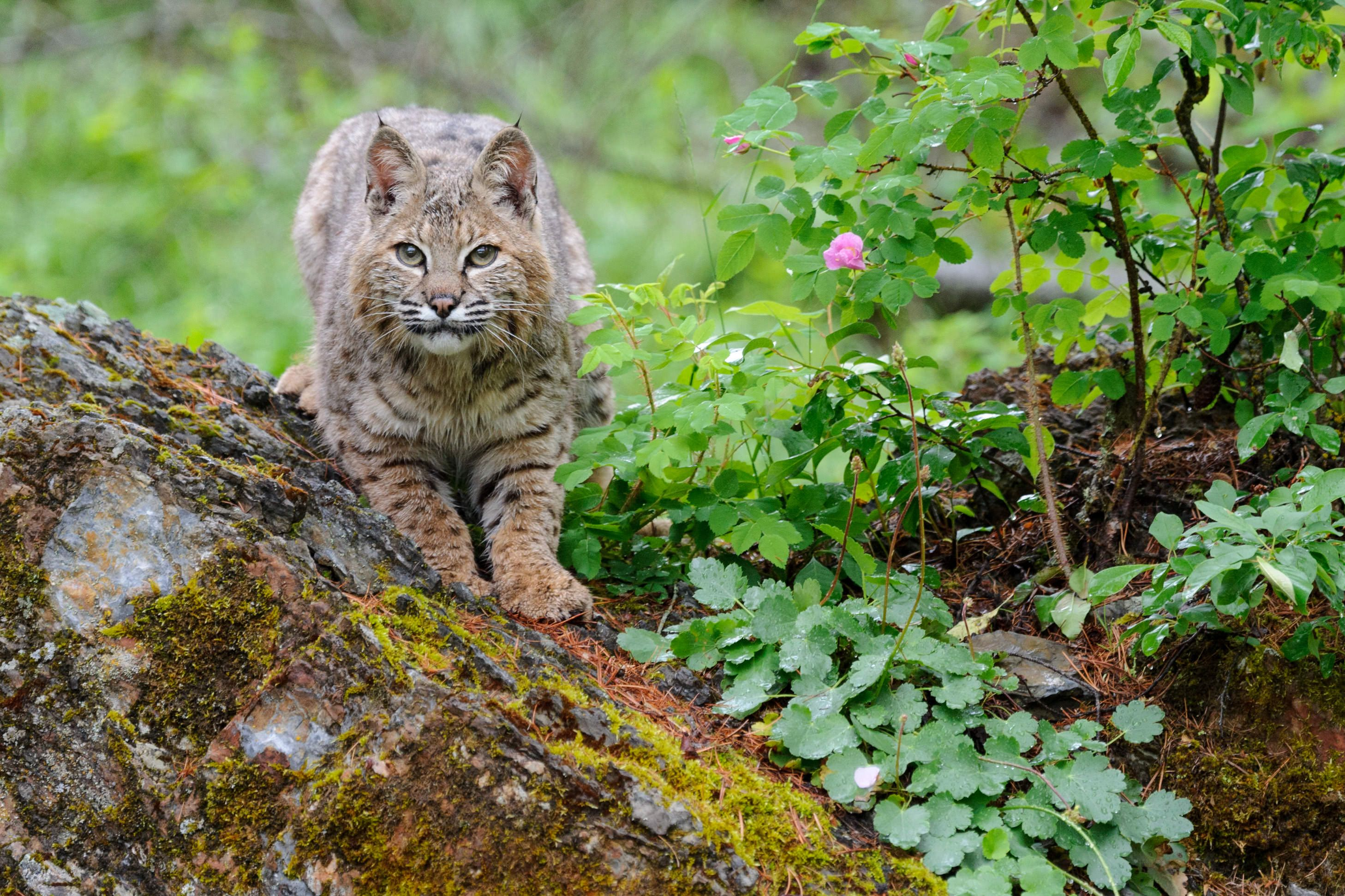 a bobcat perched in tree