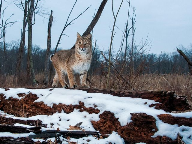 This endangered New Jersey bobcat was photographed at TNC's Blair Creek Preserve.