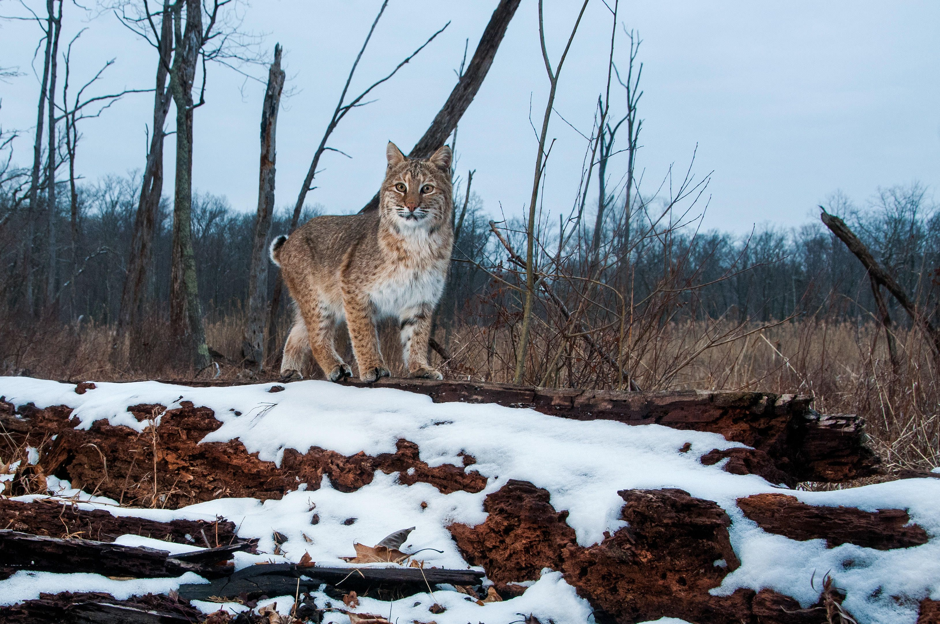 bobcat looking at camera standing on snow-covered ground