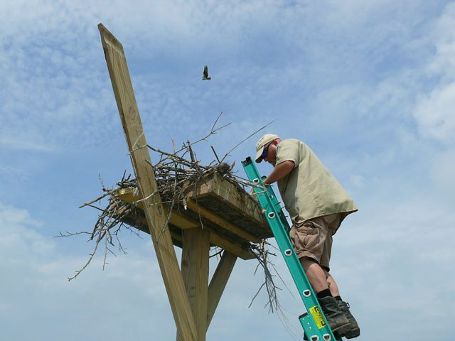 Osprey Nest in New Jersey
