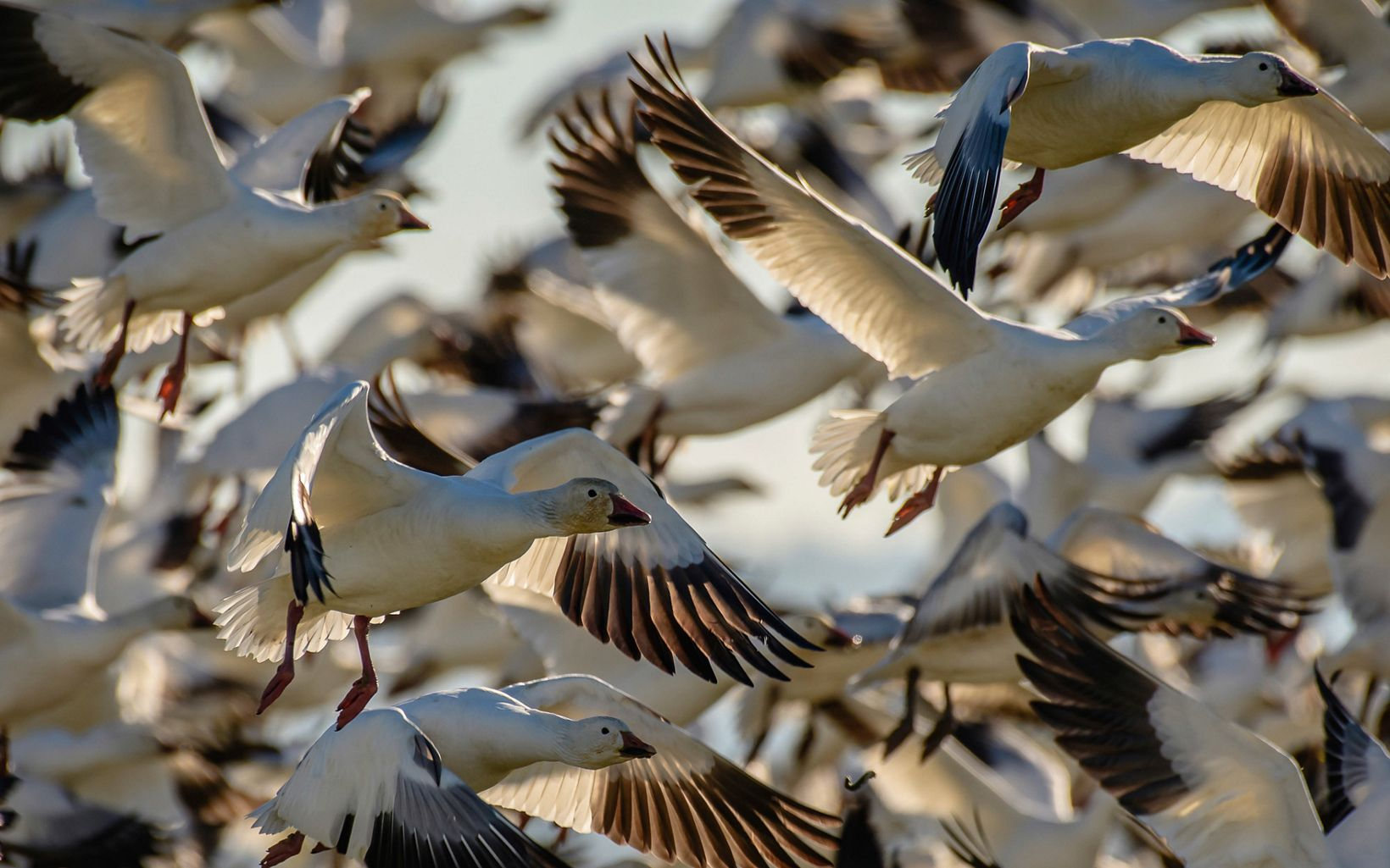 Large flock of snow geese block out all other scenery