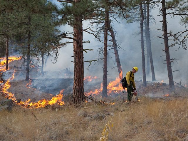 in ponderosa pine forest in fall on Sinlahekin Wildlife Area in Okanogan County, WA. Treatment unit is Conner 5, which had been logged and thinned in winter prior. Seth Midkiff lighting with drip torch.