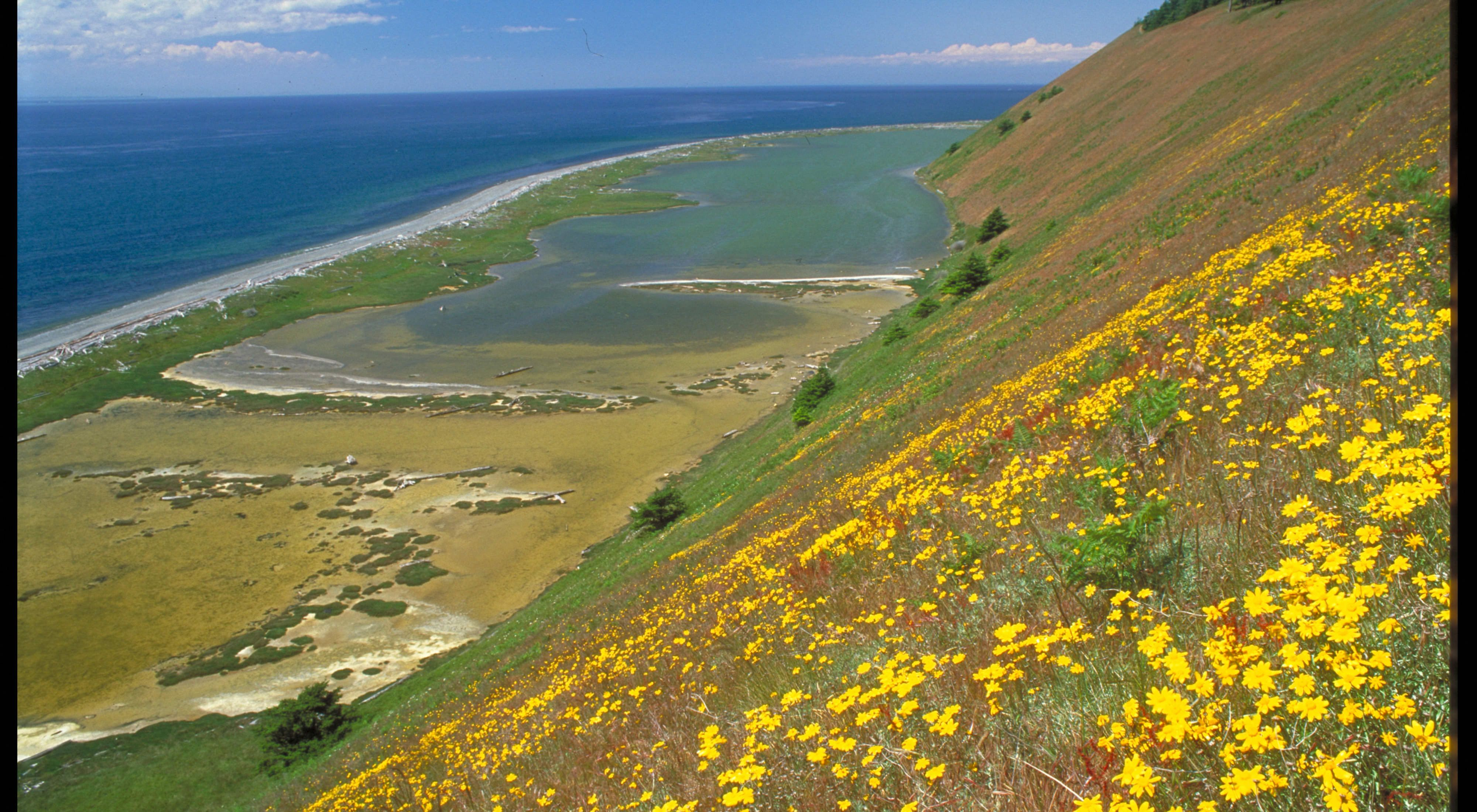 Perego's Lagoon viewed from bluff at Ebey's Landing. Yellow flower is Oregon sunshine.