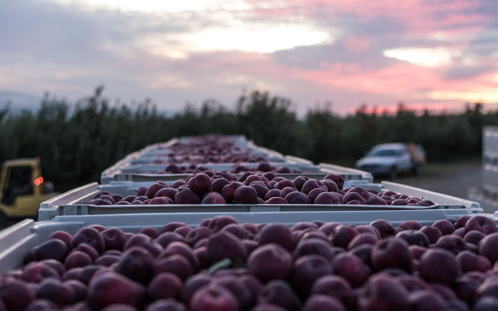 at T&T Orchards in Quincy employs about 50 workers each season, some of whom have returned for 20 years. Each harvester fills about 14,000 pounds of apple per day.
