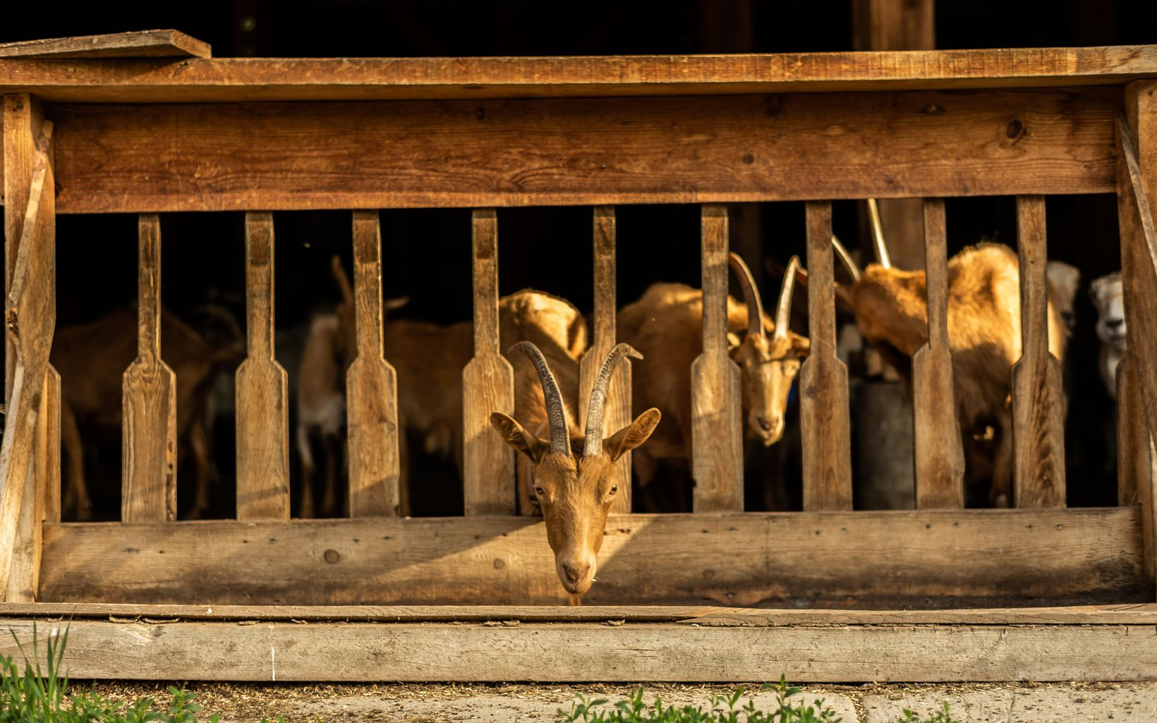 move from pasture to pen as they await their turns at milking stations in the Methow Valley's Sunny Pine Farm. The dairy is home to 200 Guernsey goats.
