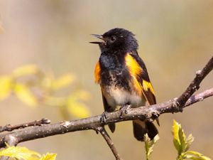 An orange and black bird calls while sitting on a tree branch.