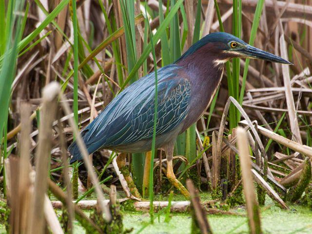 A gray-green and brown wading bird walking through marsh grasses.