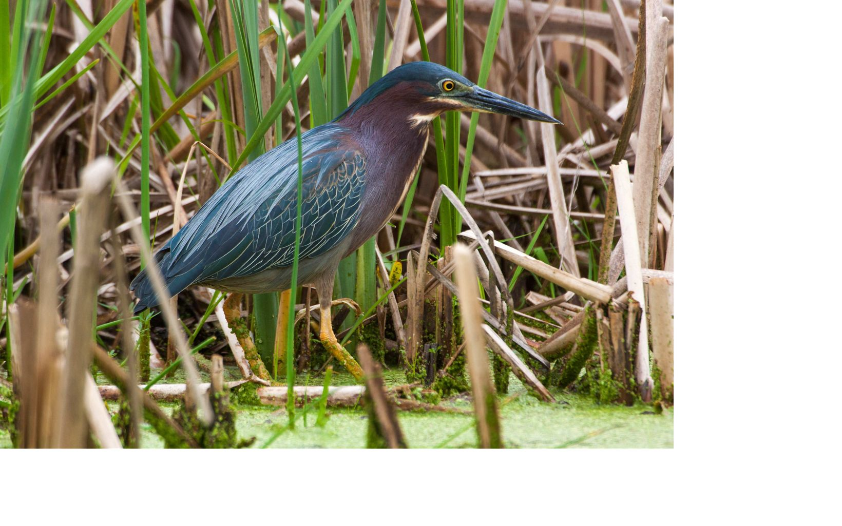 An green and blue bird rests in wetlands.