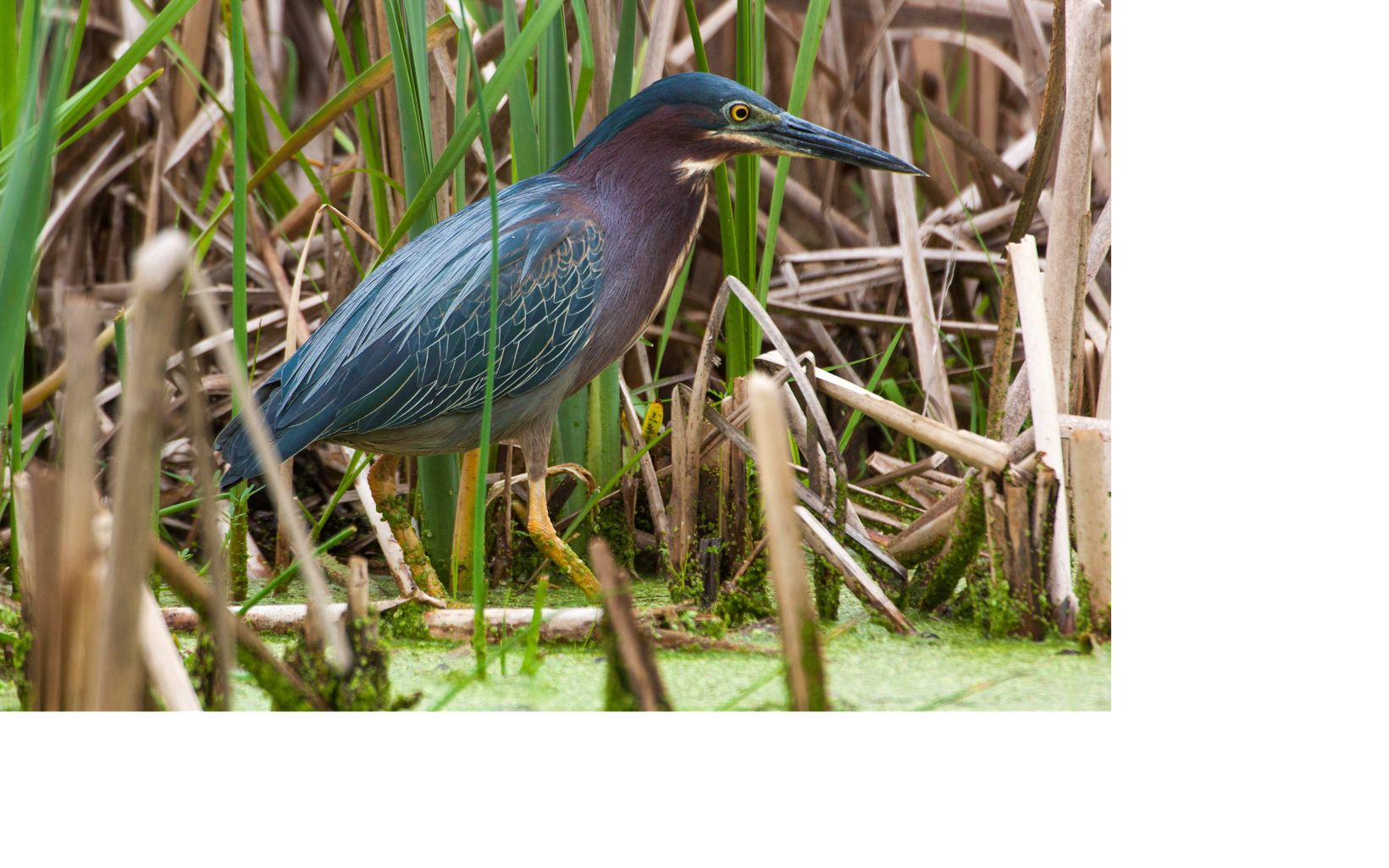 These wading birds return to Wisconsin in the spring, and can be seen near the water's edge waiting for small fish or other prey.