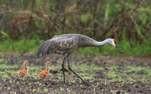 A large, gray adult crane walking through mud, followed by two fuzzy brown chicks.