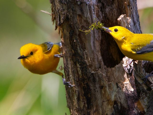 Two small yellow and gray songbirds perched on a tree. One is holding a piece of moss in its beak.