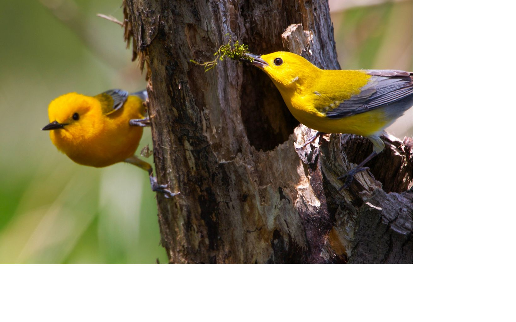 LIMITED INTERNAL RIGHTS. Prothonotary warbler near a nest cavity. Images of Wisconsin flora, fauna, and landscapes from around the state in January 2013.