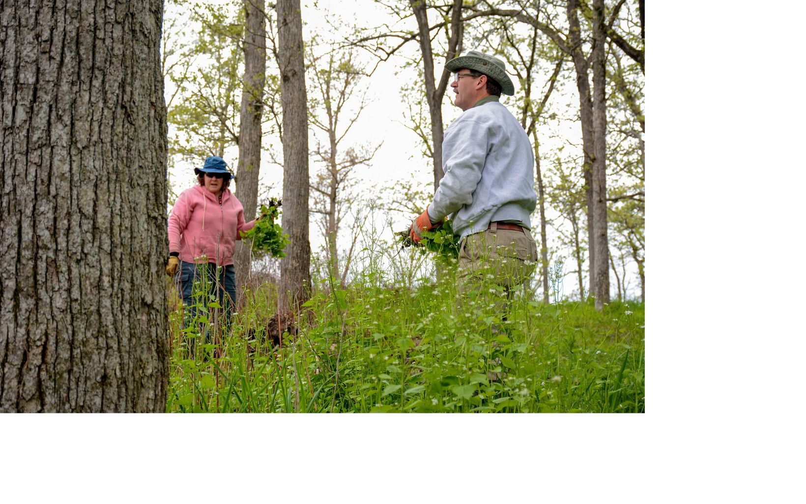 Volunteers collect invasive garlic mustard during a work day at Muehllehner Addition in Barneveld Prairie, Wisconsin.