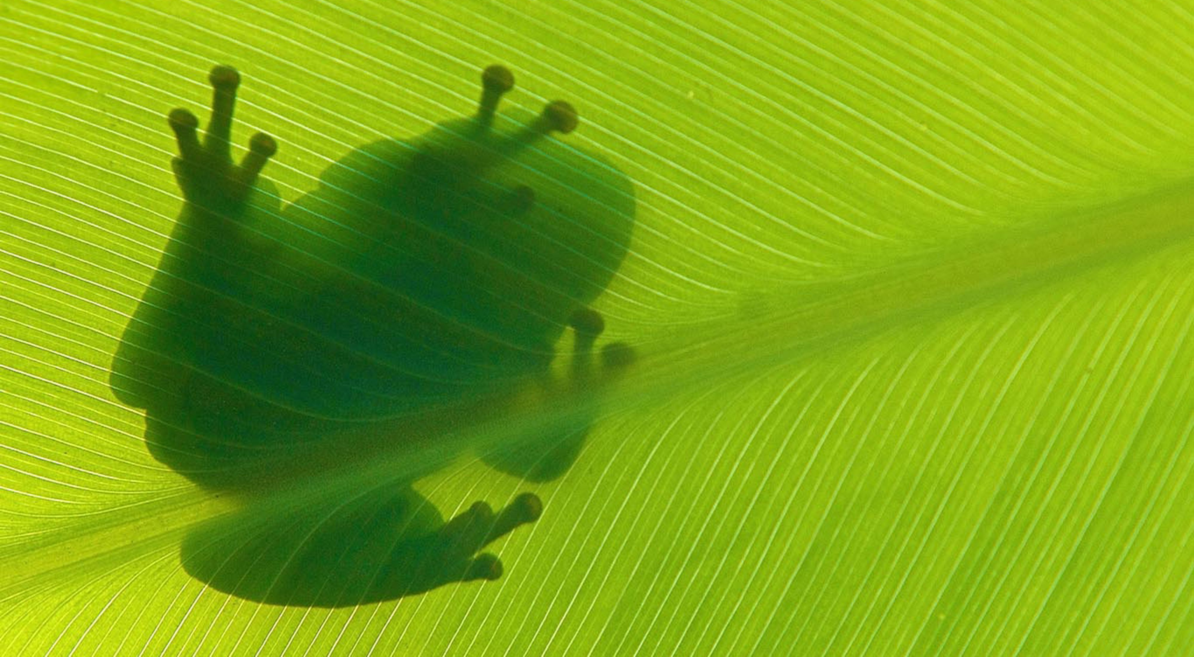 Silhouette of a green tree frog sitting on top of a leaf.