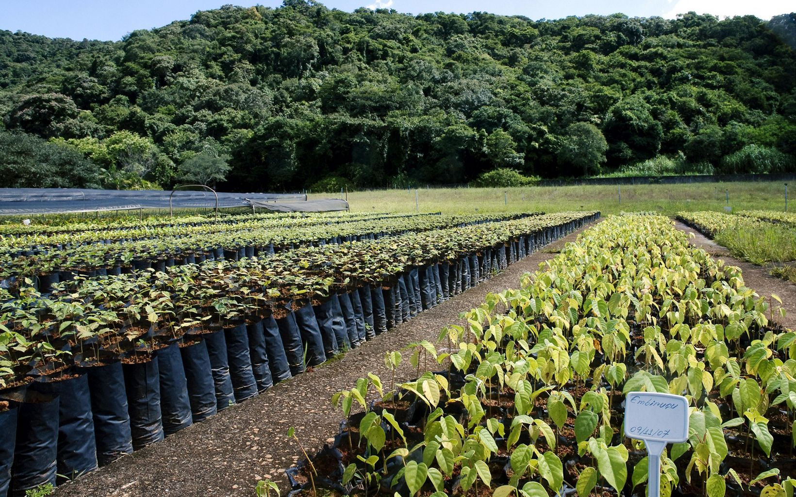 These tree seedlings will be planted in local reforestation efforts to restore degraded riparian areas in watersheds that supply water to the city of São Paulo.