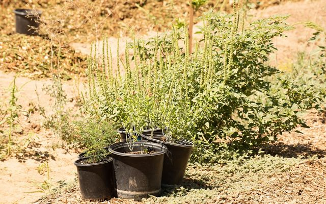 A cluster of trees in black plastic pots, surrounded by dry desert soil.