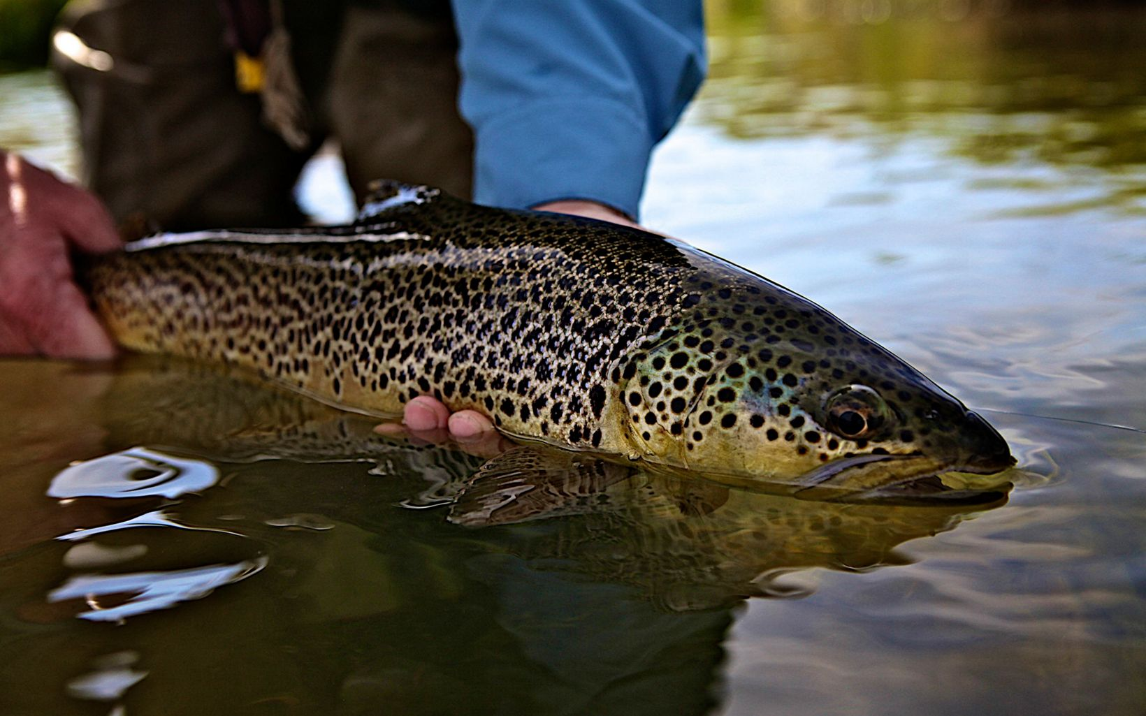 A closeup of a large brown and black trout with shimmery, spotted skin, being held in the water by an angler.