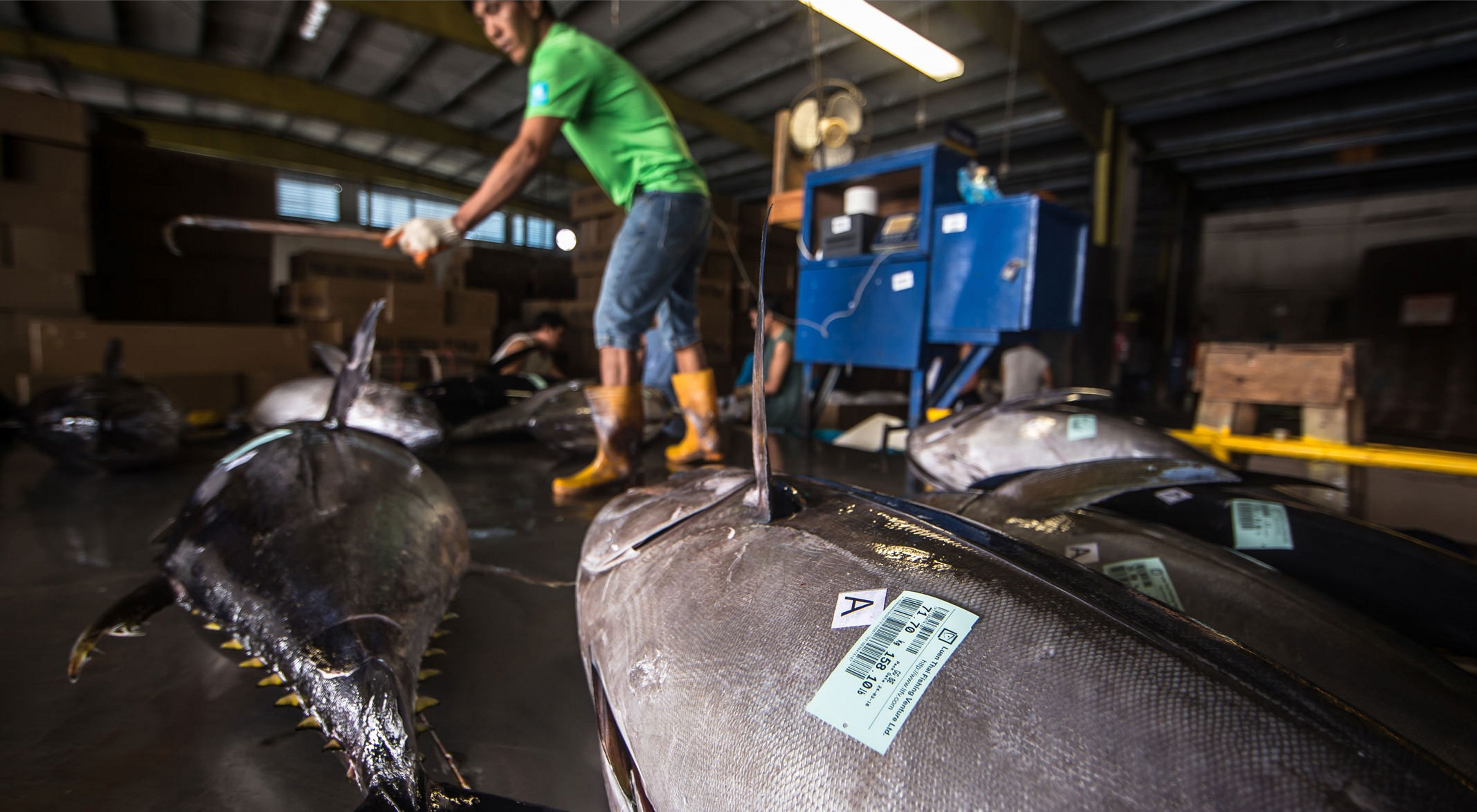 A man in a warehouse with tuna harvested from waters in the Pacific Islands.