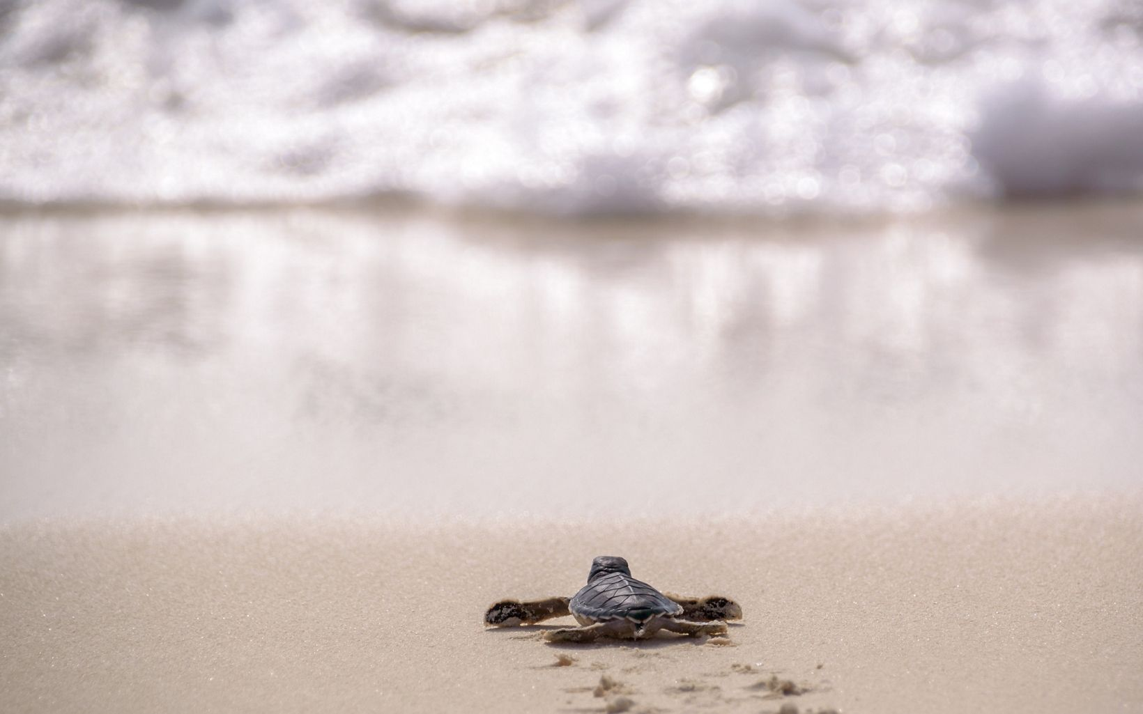 A baby turtle waddles on the sand on its way toward the ocean.