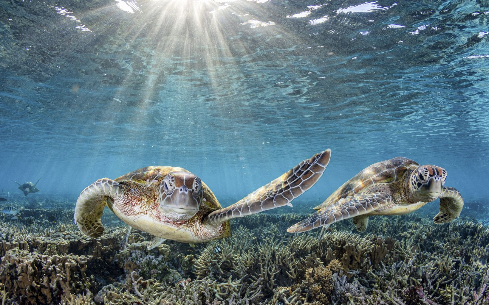 Two endangered Green Sea Turtles slapping some fins as they swim through the coral gardens on Lady Elliot Island.