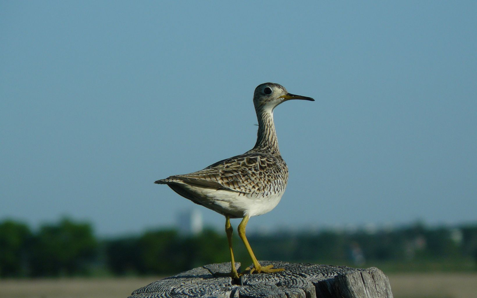 Upland sandpiper standing on a wooden fence post