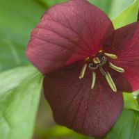 A red flower blooms from green leaves.