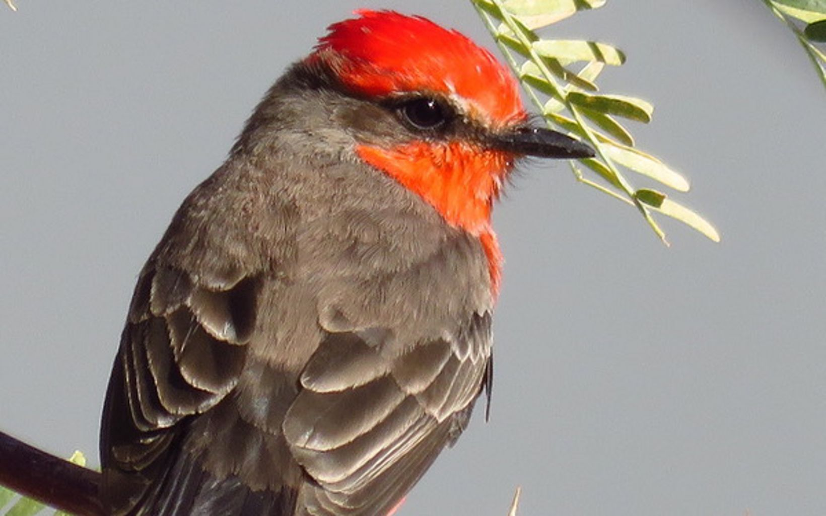 Many bird species can be found at 7J Ranch, including the vermillion flycatcher.