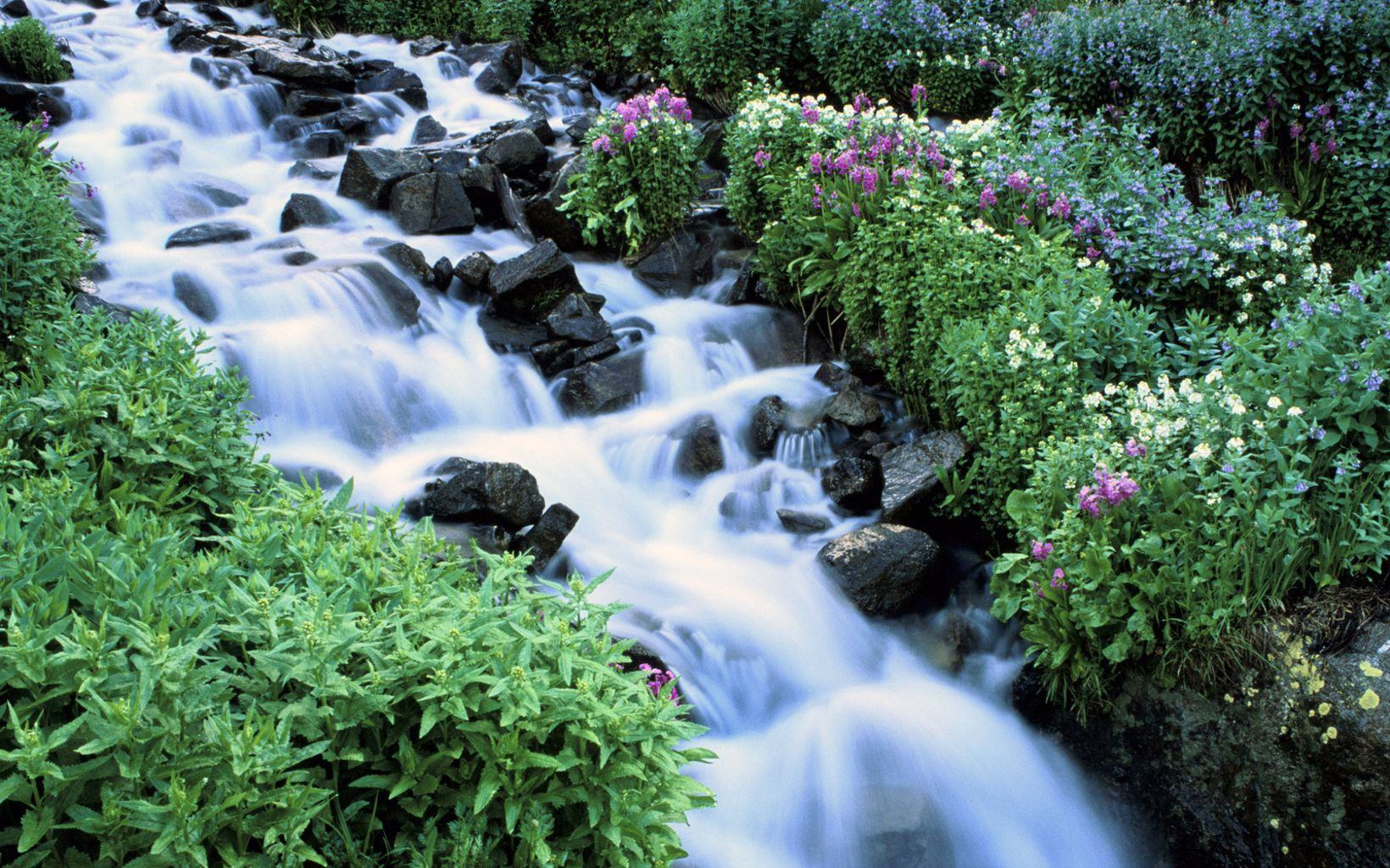 Wildflowers bloom along a rushing river in wilderness north of Ward, Colorado.