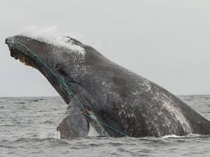 Humpback whale entangled in fishing gear.