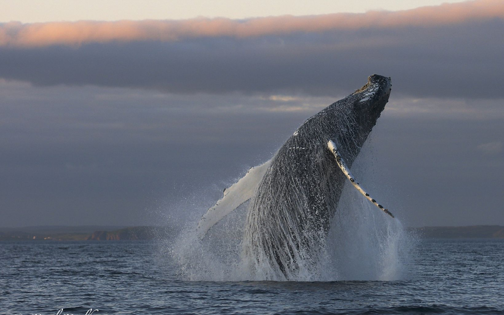 A humpback whale leaps from the dark blue water's surface.