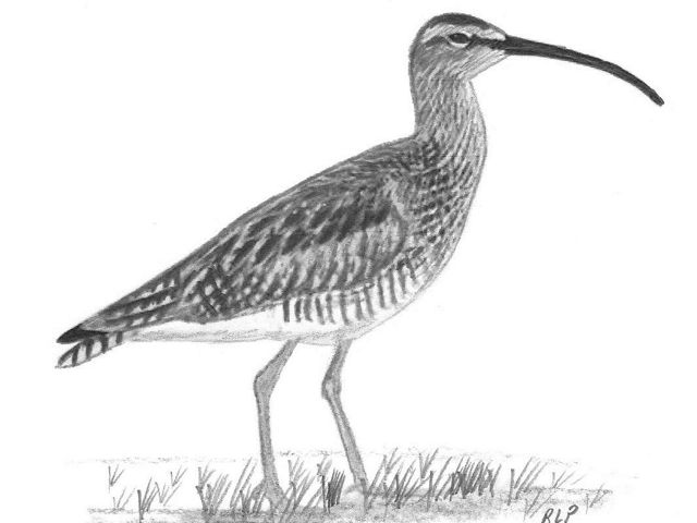 Charcoal drawing of a whimbrel