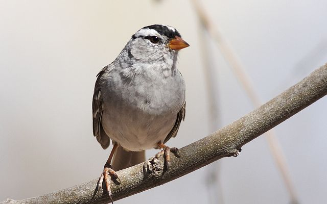 Closeup of White Crowned Sparrow