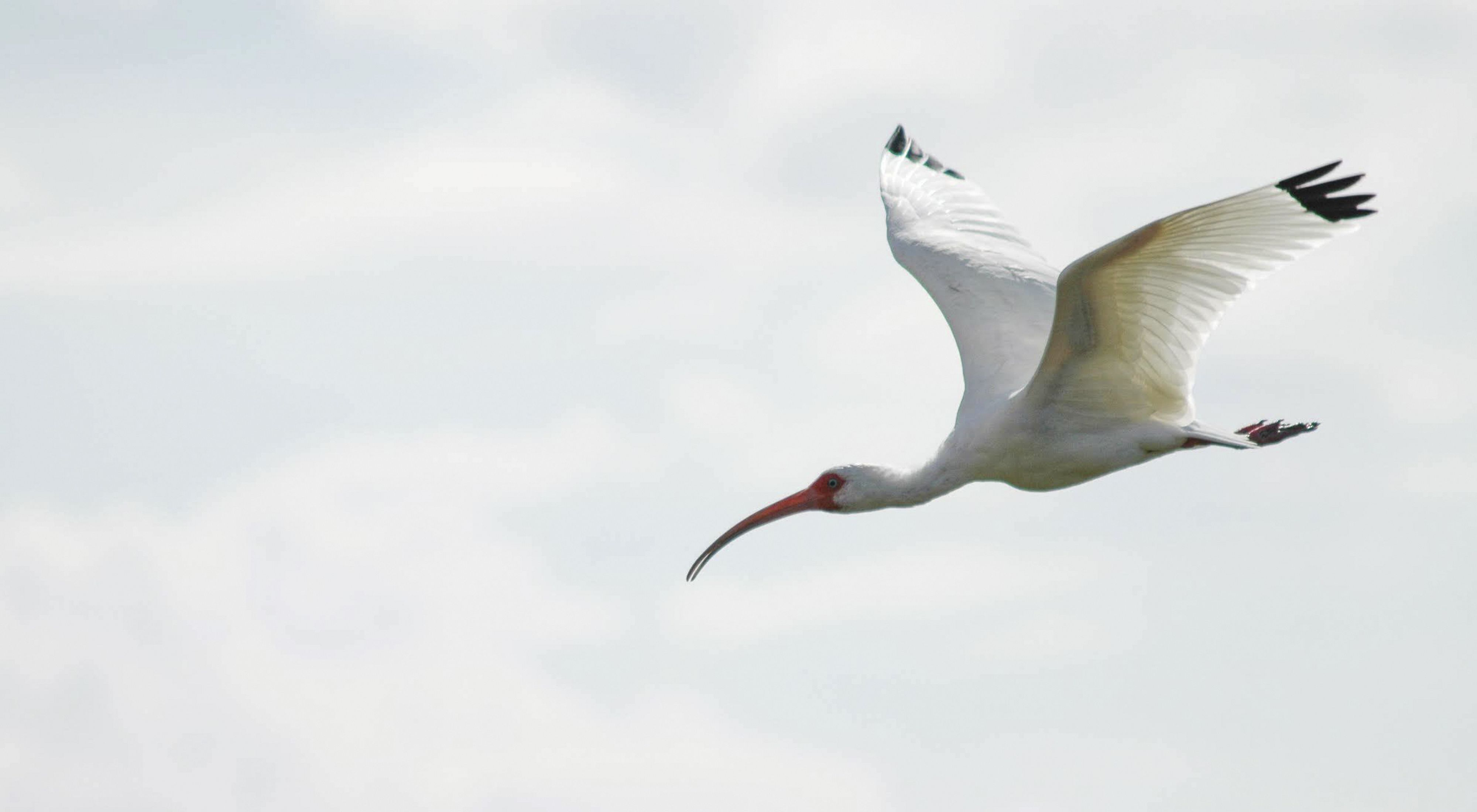 A large white bird with black wing tips and a red face, flying through a blueish gray sky.