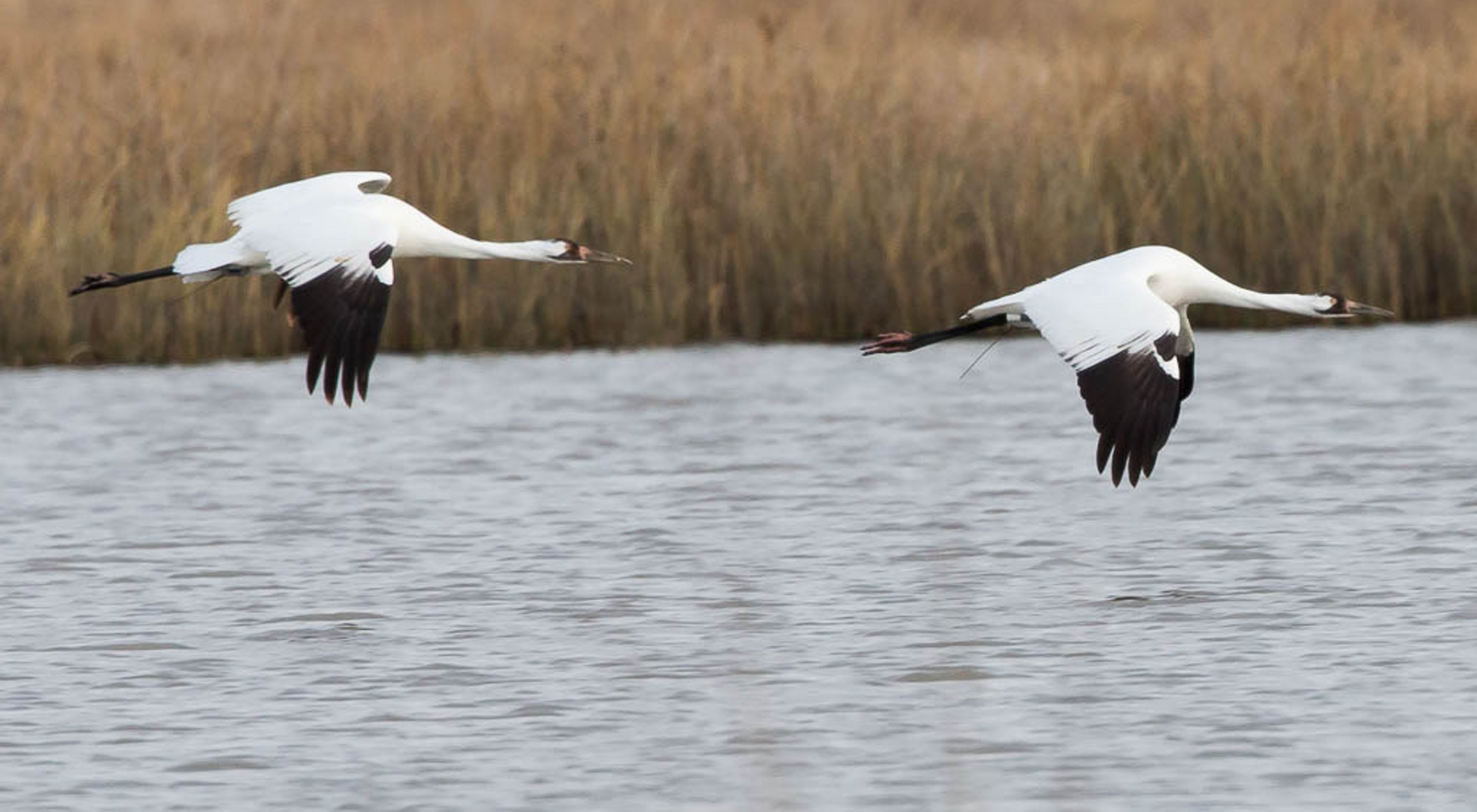 Two white and black whooping cranes mid-flight over a lake.