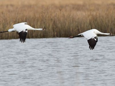 Two whooping cranes flying low above open gray water