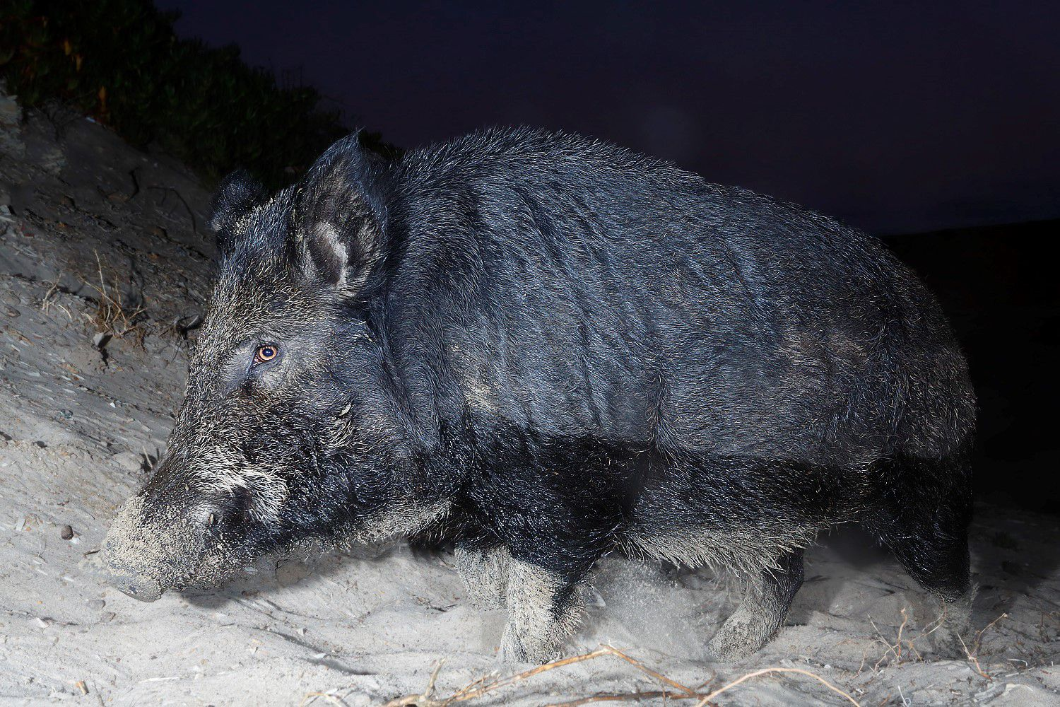 A wild pig with dark grey fur viewed from the side close to the camera on sandy ground.