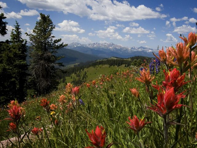 Bright red wildflowers on a Colorado hillside, with snowy mountains and blue sky in the distance.